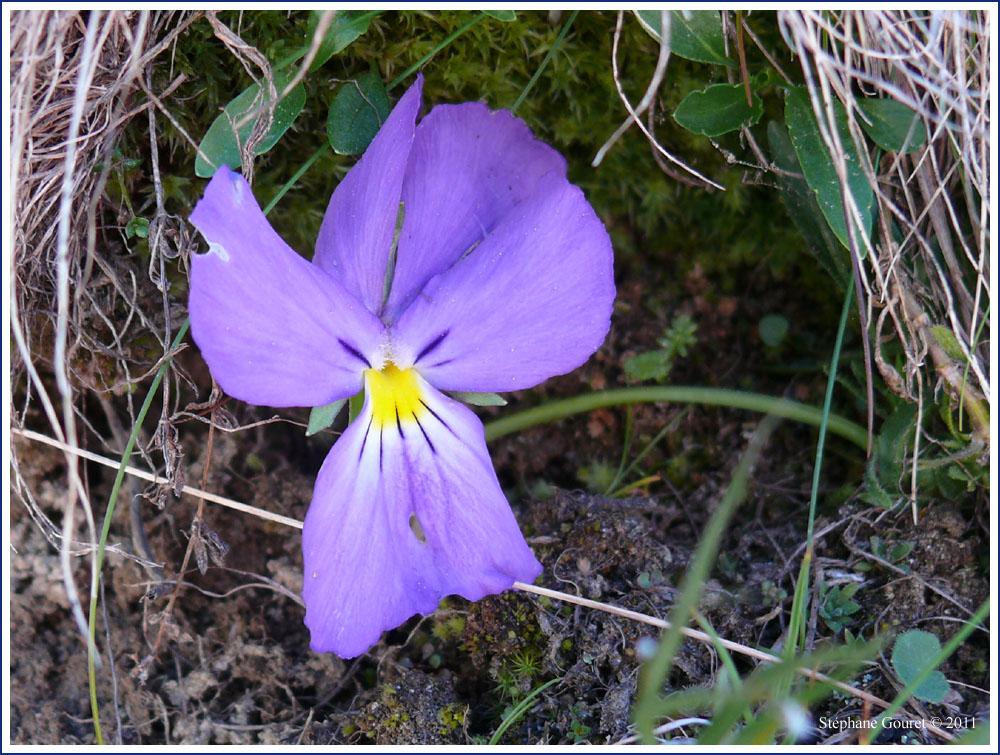 Flore alpine les fleurs bleues - Fleurs bleues grimpantes ...